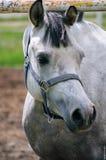 Arabisch Paard Royalty-vrije Stock Foto
