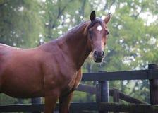 Arabisch paard dat camera bekijkt Stock Foto's