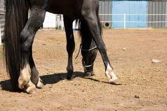 Arabisch paard die gras op rancho eten stock foto's