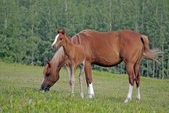 Arabisch Paard en Merrieveulen Royalty-vrije Stock Fotografie