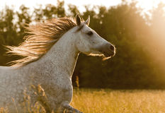 Arabisch paard in zonsondergang Stock Foto's