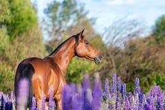 Arabisch paardportret op een bloemweide Royalty-vrije Stock Fotografie