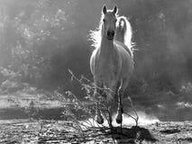 Arabisch wit paard Stock Afbeelding