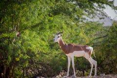 Arabische Gazelle Stock Afbeeldingen