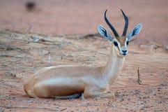 Arabische Gazelle Lizenzfreie Stockbilder
