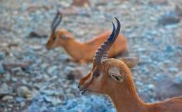 Arabische Gazelle Royalty-vrije Stock Foto