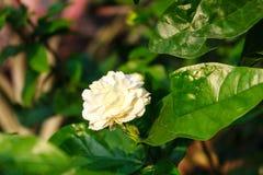 Arabische jasmijn stock fotografie
