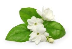 Arabische jasmijn, de bloem van de jasmijnthee Stock Fotografie