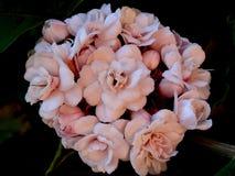 Arabische jasmijn, jasminum sambac Stock Afbeeldingen