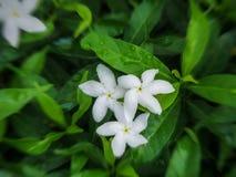 Arabische jasmijnbloemen royalty-vrije stock foto
