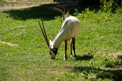 Arabische oryx Stock Fotografie