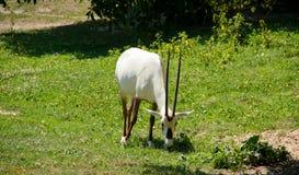 Arabische oryx Royalty-vrije Stock Afbeeldingen