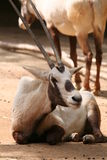 Arabische oryx Stock Afbeelding