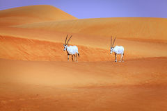 Arabische oryx Royalty-vrije Stock Afbeelding