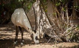 Arabische oryx Royalty-vrije Stock Foto