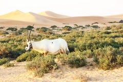 Arabische oryx in de woestijn, Doubai Royalty-vrije Stock Foto's