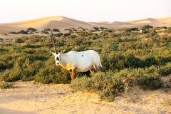 Arabische oryx in de woestijn, Doubai Stock Afbeelding