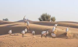 Arabische Oryx in een woestijn dichtbij Doubai Royalty-vrije Stock Afbeelding