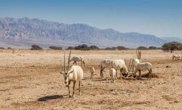 Arabische Oryx Oryx leucoryx een soort Antilopespecies, een bedreigd dier in het 'hooi-Bar 'Yotvata-Natuurreservaat Israël stock foto's