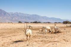 Arabische Oryx Oryx leucoryx een soort Antilopespecies, een bedreigd dier in het 'hooi-Bar 'Yotvata-Natuurreservaat Israël royalty-vrije stock fotografie