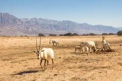Arabische Oryx Oryx leucoryx een soort Antilopespecies, een bedreigd dier in het 'hooi-Bar 'Yotvata-Natuurreservaat Israël royalty-vrije stock afbeelding