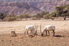 Arabische Oryx Oryx leucoryx een soort Antilopespecies, een bedreigd dier in het 'hooi-Bar 'Yotvata-Natuurreservaat Israël royalty-vrije stock foto