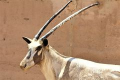 Arabische Oryxstatue an Phoenix-Zoo, Arizona-Mitte für Erhaltung der Natur, Phoenix, Arizona, Vereinigte Staaten stockfotografie