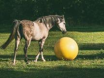 Arabische paard het spelen bal op groen gras Stock Afbeelding