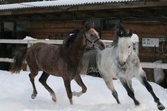 2 Arabische paarden die in de sneeuw in de paddock galopperen royalty-vrije stock foto's