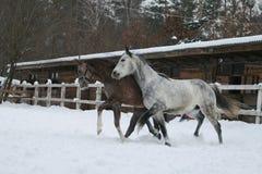Arabische paarden die in de sneeuw rotten royalty-vrije stock foto