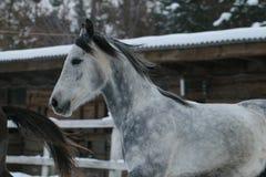 Arabische paardlooppas in de sneeuw in de paddock royalty-vrije stock foto's