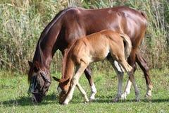 Arabische Pferde, die in einer Wiesensommerzeit weiden lassen Stockfoto