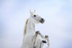 Arabische Pferdenrückseiten Stockbild