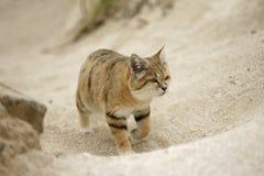 Arabische Sandkatze, Felis Margarita harrisoni Lizenzfreies Stockfoto
