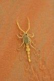 Arabische Scorpian Stock Afbeeldingen