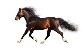 Arabische Stallion-Trab Lizenzfreie Stockfotografie