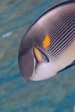 Arabische surgeonfish (sohal Acanthurus) Stock Foto's