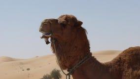 Arabischer Bauernhof-züchtendes Kamel stock video