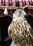 Arabischer Falke Lizenzfreie Stockfotografie