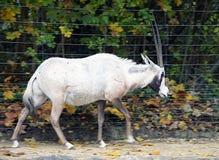 Arabischer Oryx 2 Stockbild