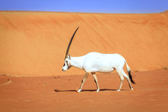Arabischer Oryx Stockbild