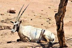 Arabischer Oryx an Phoenix-Zoo, Arizona-Mitte für Erhaltung der Natur, Phoenix, Arizona, Vereinigte Staaten stockbilder