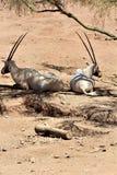 Arabischer Oryx an Phoenix-Zoo, Arizona-Mitte für Erhaltung der Natur, Phoenix, Arizona, Vereinigte Staaten lizenzfreie stockfotografie