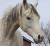 Arabischer Pferdeportrait Stockfotos