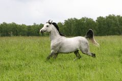 Arabischer Stallion Stockbild