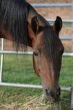 Arabischer Stallion Lizenzfreies Stockbild