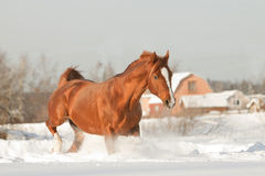 Arabischer Stallion Stockfotos