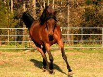 Arabischer Stallion Stockbild
