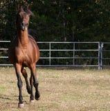 Arabischer Stallion Lizenzfreie Stockbilder