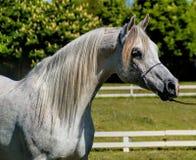 Arabischer Stallion Stockfotografie